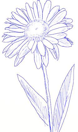 Daisy Flowers Tattoo Drawing