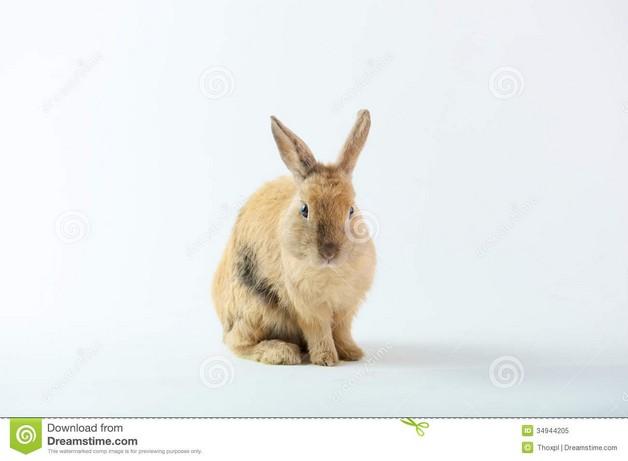 Bunny Rabbit White Brown Pet Portrait Tattoos photo - 1