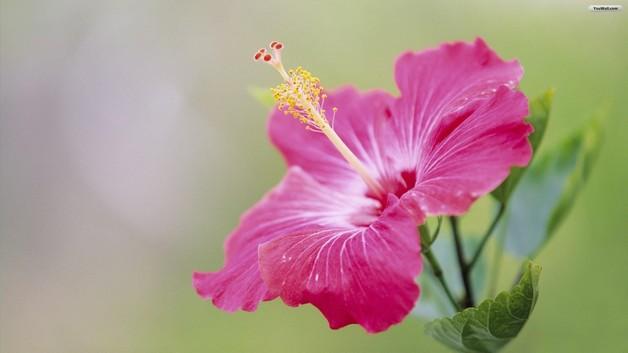 Tattoo Of Hibiscus Flower photo - 1