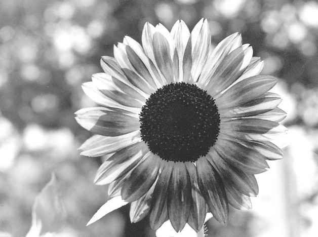 Black And White Sunflower Tattoo