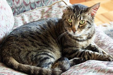 tabby cat tattoo design photo - 2